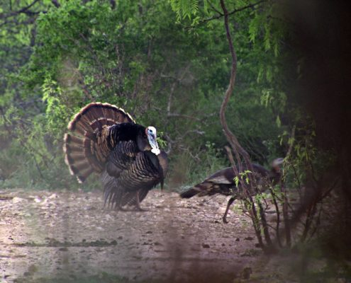Turkey Attacks Hunter