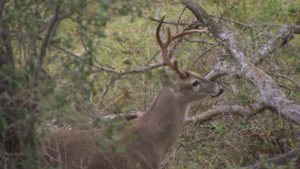 Bow Hunting a New Stand - rattling in a buck
